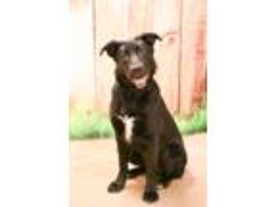 Adopt Shaak Ti a Black German Shepherd Dog / Mixed dog in West Chester
