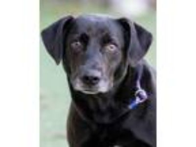 Adopt Gage a Black Retriever (Unknown Type) / Mixed dog in Loxahatchee