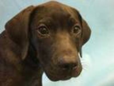 Adopt Zeus a Black Labrador Retriever / Mixed dog in Coon Rapids, MN (25598254)