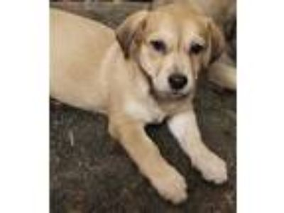 Adopt Puppies by Betty #2 a Retriever (Unknown Type) dog in Hardeeville