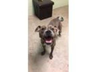 Adopt Wilma a Pit Bull Terrier / Mixed dog in Defiance, OH (25923308)