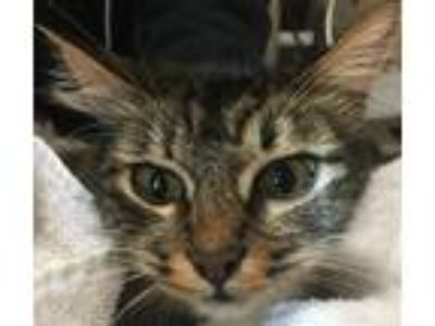 Adopt Layla a Domestic Shorthair / Mixed cat in San Diego, CA (25325330)