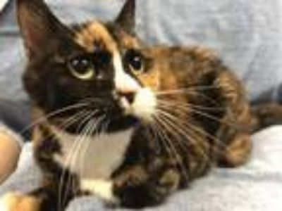 Adopt Priss a Domestic Short Hair