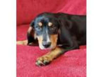 Adopt Speed *FOSTER NEEDED* a Black and Tan Coonhound
