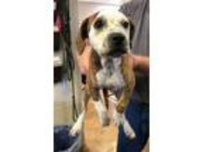 Adopt 41887119 a Brindle German Shorthaired Pointer / Mixed dog in Cleveland