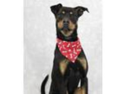 Adopt Severus a Black Doberman Pinscher / Mixed dog in Louisville, KY (25525337)