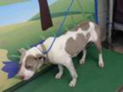 Adopt CARA a Pit Bull Terrier, Mixed Breed