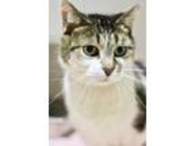 Adopt Clairice a White American Shorthair / Domestic Shorthair / Mixed cat in