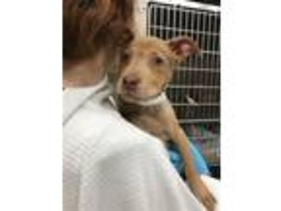 Adopt Asia a Pit Bull Terrier / Mixed dog in Birmingham, AL (25356629)