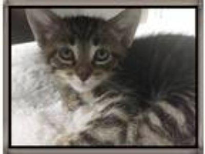 Adopt Mylo a Brown Tabby Domestic Shorthair (short coat) cat in Mt.