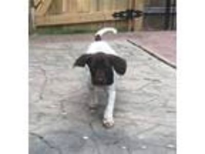 Adopt GSP Puppies a German Shorthaired Pointer