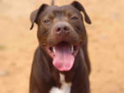 Adopt JUDGE a Brown/Chocolate - with White American Pit Bull Terrier / Mixed dog