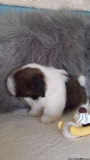 Shih Tzu puppies extremely affectionate and loves to cuddle@#$