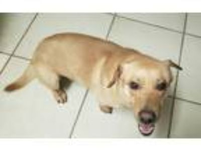 Adopt Yellow Rider a Tan/Yellow/Fawn - with White Labrador Retriever / Corgi /