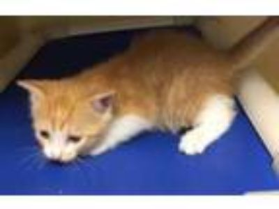 Adopt Tiara a Orange or Red Domestic Shorthair / Domestic Shorthair / Mixed cat