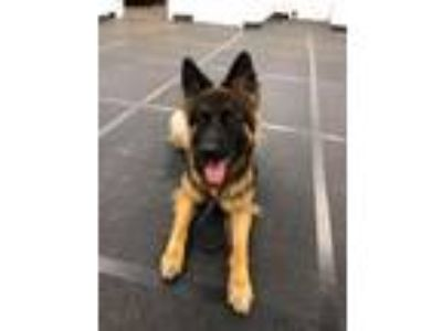 Adopt Nellie a German Shepherd Dog
