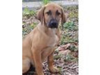 Adopt Elrod a Tan/Yellow/Fawn - with Black Hound (Unknown Type) / Labrador