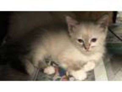Adopt Merida a Gray or Blue Domestic Shorthair / Siamese / Mixed cat in