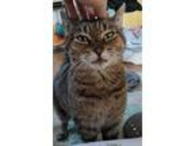Adopt Mango a Spotted Tabby/Leopard Spotted American Shorthair / Mixed cat in