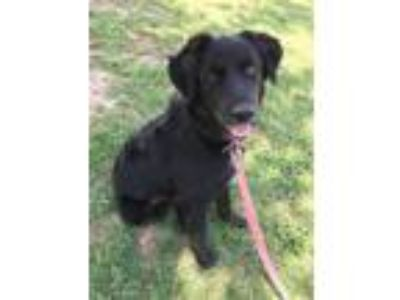 Adopt Piper a Retriever, Australian Shepherd