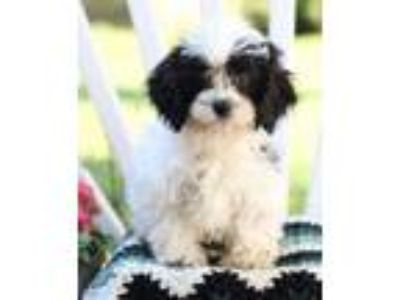 Adopt Sparky a White Cavalier King Charles Spaniel / Poodle (Miniature) dog in