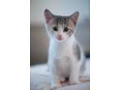 Adopt Bree a Domestic Short Hair