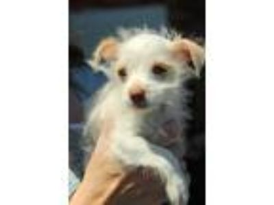 Adopt Yum Yum a White Terrier (Unknown Type, Small) / Mixed dog in San