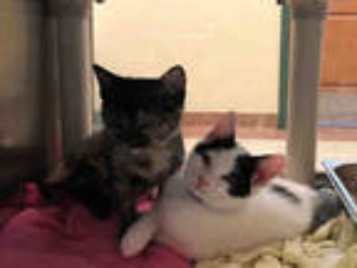 Adopt FILIUS a White (Mostly) Domestic Shorthair / Mixed (short coat) cat in