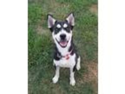 Adopt Blackie a Black - with White Siberian Husky / Mixed dog in High Point