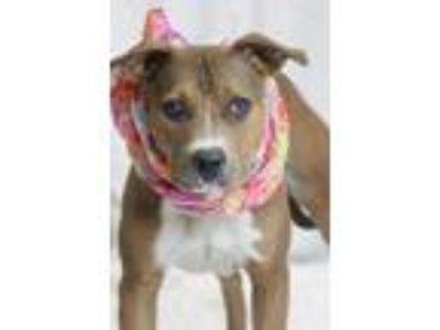 Adopt jade a Brown/Chocolate Retriever (Unknown Type) / Mixed dog in Greenville