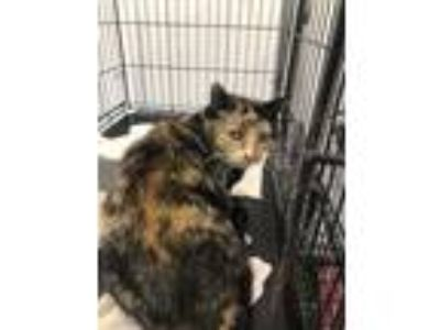 Adopt Saundra a Domestic Mediumhair / Mixed (short coat) cat in Thousand Oaks