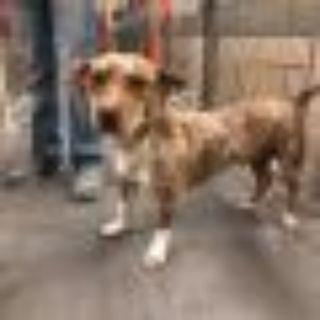 Lionel Richie Basset Hound - Catahoula Leopard Dog Dog