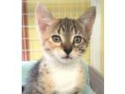 Adopt Zoey a Domestic Short Hair