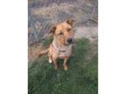 Adopt GOLDIE a Red/Golden/Orange/Chestnut Labrador Retriever / Mixed dog in