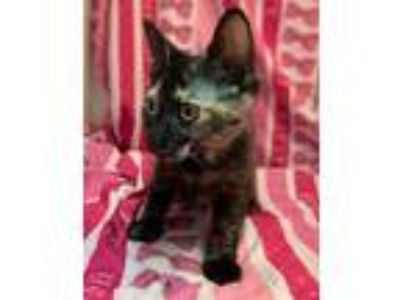 Adopt Anemone a Orange or Red Domestic Shorthair / Domestic Shorthair / Mixed