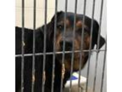 Adopt Buggy a Black Shepherd (Unknown Type) / Rottweiler dog in Knoxville