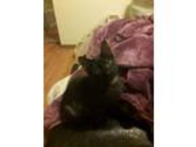 Adopt Ethan a Domestic Short Hair