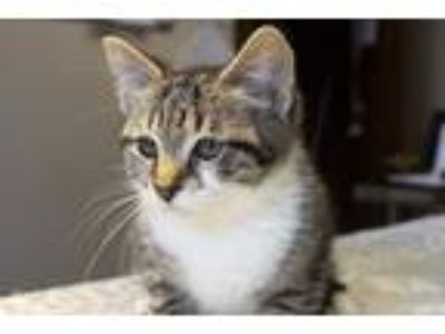 Adopt Buttons a Domestic Shorthair / Mixed (short coat) cat in Lancaster