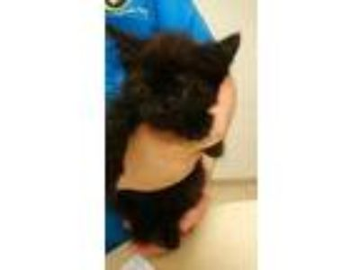 Adopt Chocolate a All Black Domestic Shorthair / Mixed cat in Land O'Lakes