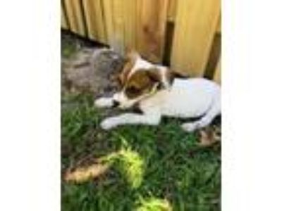Adopt Jaco Pastorius a Jack Russell Terrier