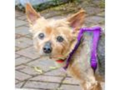 Adopt Poncho a Yorkshire Terrier