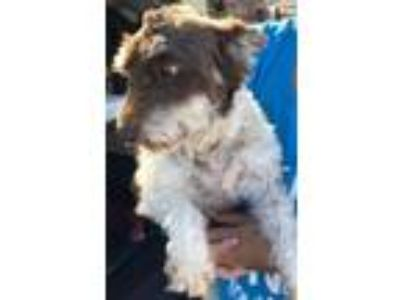 Adopt Paisley SDR in TX a Schnauzer