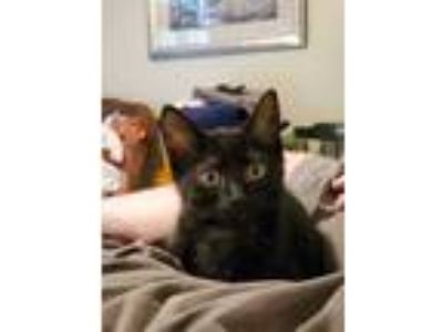 Adopt Lois a Domestic Short Hair