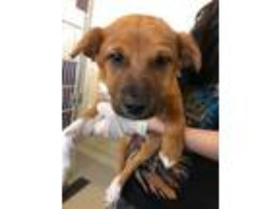 Adopt Narwhal a German Shepherd Dog / Australian Cattle Dog / Mixed dog in Fort