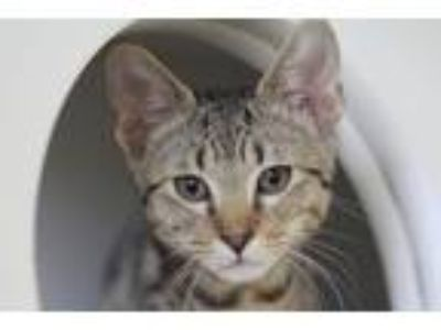 Adopt Cole a Brown Tabby Domestic Shorthair / Mixed cat in Independence