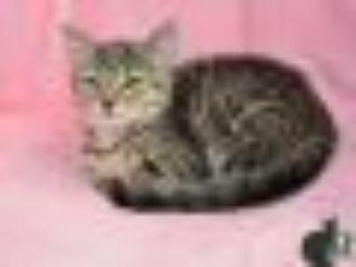 Hope Tabby - Domestic Short Hair Cat