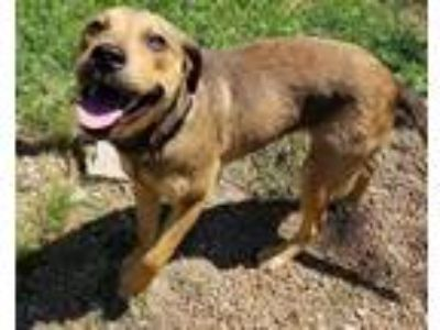 Adopt Rex a Brown/Chocolate Retriever (Unknown Type) / Mixed dog in Chattanooga