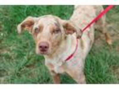 Adopt 41728649 a Brown/Chocolate Catahoula Leopard Dog / Mixed dog in Bryan