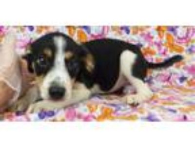 Adopt Quincy a Jack Russell Terrier, Spaniel