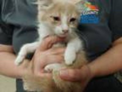 Adopt a Cream or Ivory (Mostly) Domestic Shorthair / Mixed (short coat) cat in
